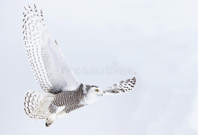 Un minimo e una caccia di volo di scandiacus del Bubo del gufo di Snowy sopra un campo innevato nel Canada immagini stock