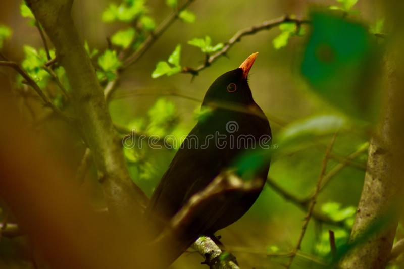 Un mirlo masculino ocultado en los arbustos fotos de archivo
