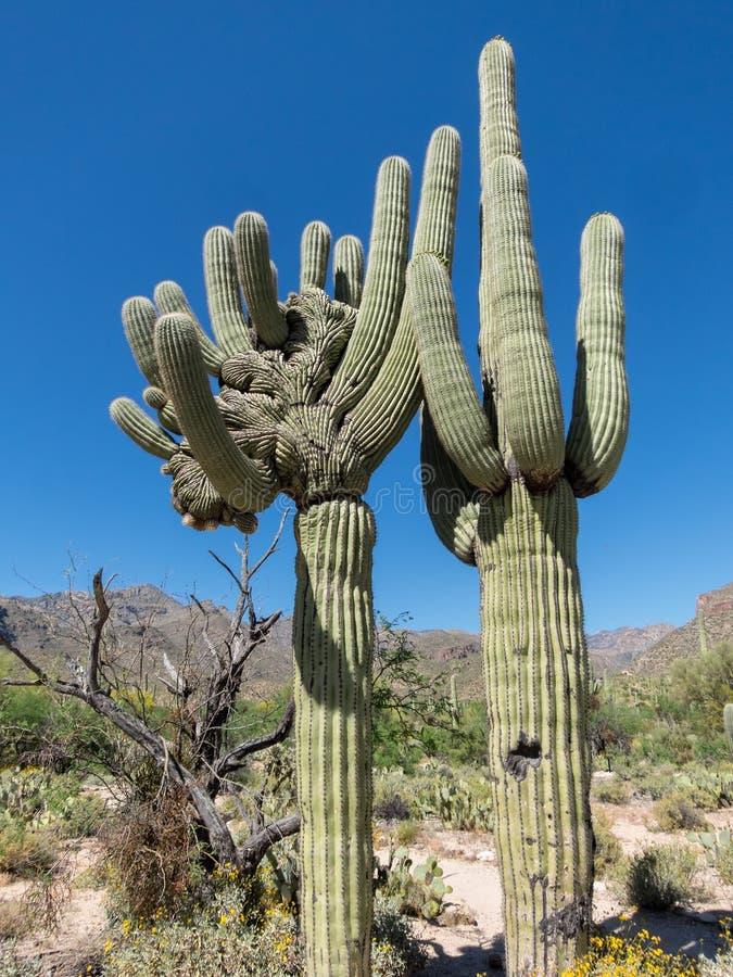 Un misterio, el Saguaro con cresta fotografía de archivo