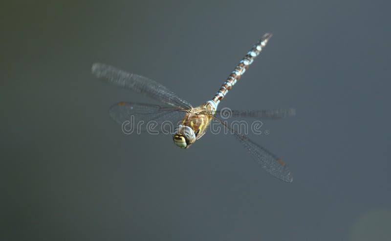 Un mixta migrateur renversant de Dragonfly Aeshna de colporteur volant au-dessus d'un lac au R-U photo libre de droits
