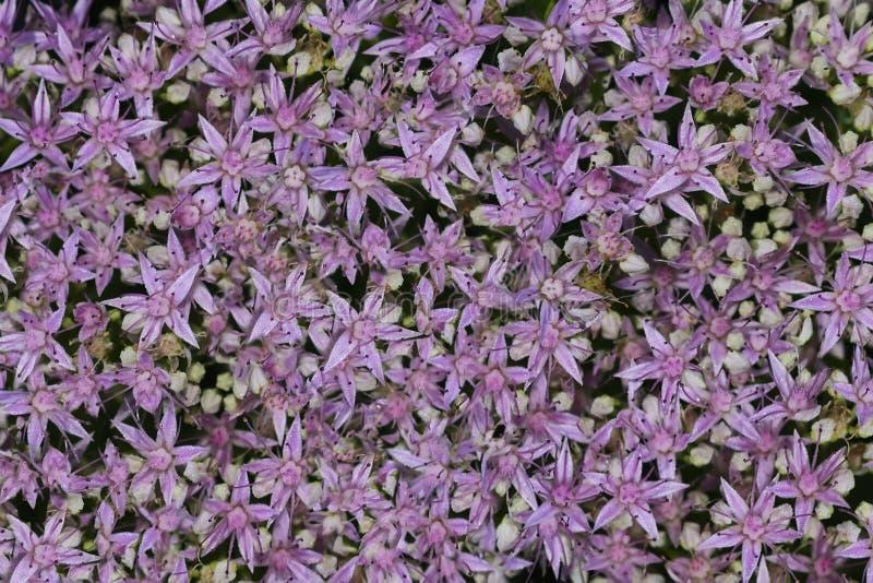 Un modèle de petites fleurs roses avec des baisses de rosée pour le fond image libre de droits