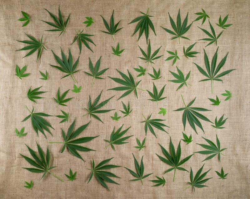 Un modèle des feuilles naturelles de cannabis sur le fond de la toile de jute image libre de droits