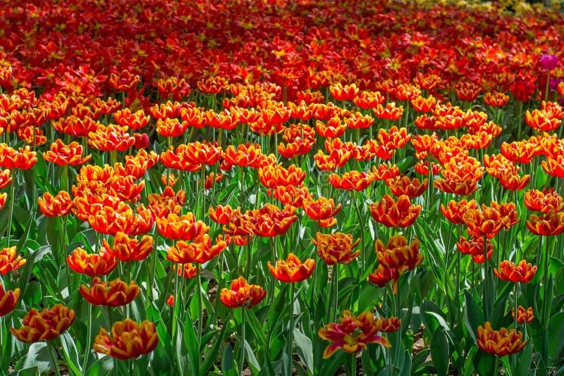 Un modello dei fiori di fioritura fotografia stock libera da diritti