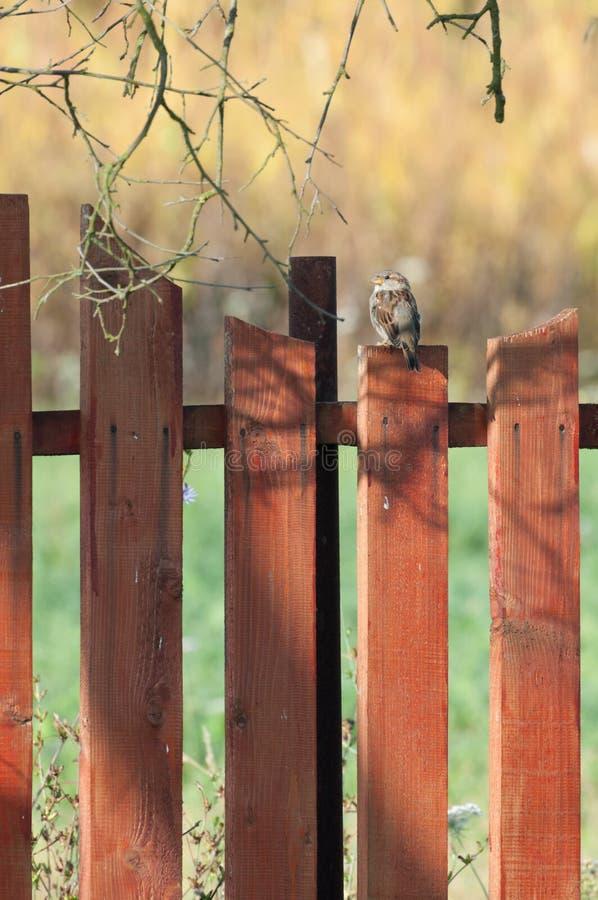 Un moineau de maison femelle sur une barrière photo libre de droits