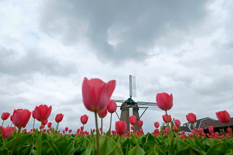 Un molino de viento es a través vistos tulipanes, Países Bajos foto de archivo libre de regalías