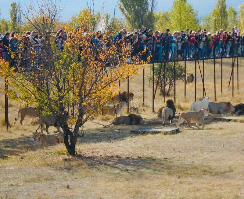 Un momento de alimentar los leones en el parque de Taigan fotos de archivo libres de regalías