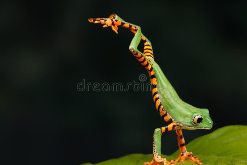 Un momento muy interesante en naturaleza Cierre de la rana verde para arriba La rana salta en una hoja verde Fondo oscuro imagen de archivo libre de regalías