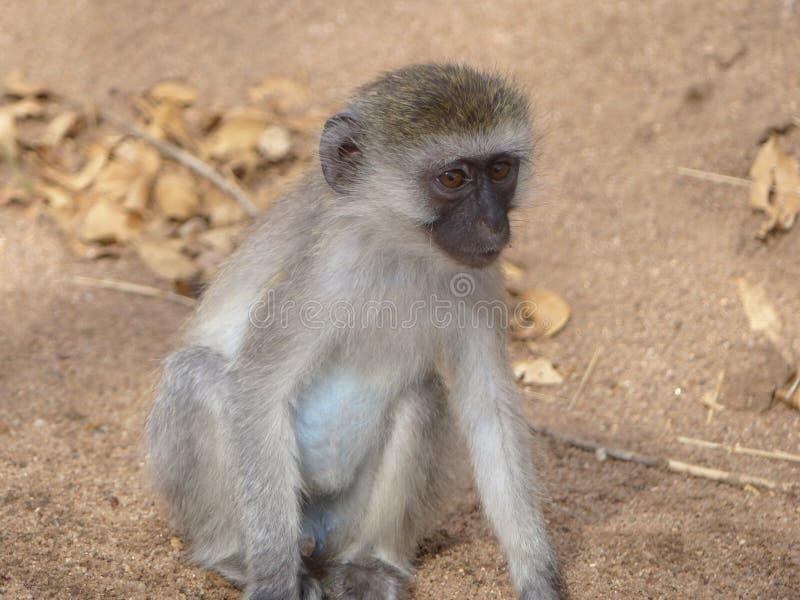 Un mono balled azules cielos foto de archivo libre de regalías