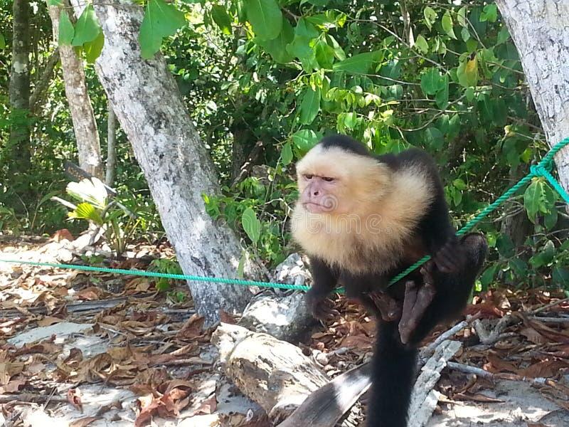 Un mono concentrado en el tourist& x27; plátanos de s foto de archivo libre de regalías