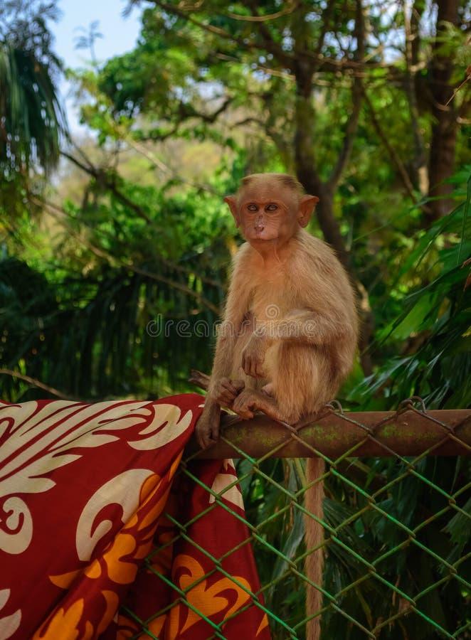 Un mono de capo joven que se sienta en una cerca que hace frente a la cámara, espacio de la copia fotos de archivo