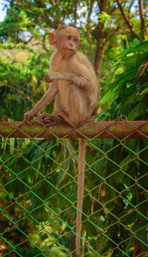 Un mono de capo joven que se sienta en una cerca que hace frente a la cámara, espacio de la copia imagen de archivo libre de regalías