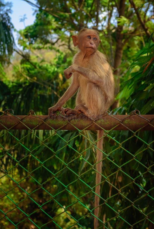 Un mono de capo joven que se sienta en una cerca que hace frente a la cámara, espacio de la copia imagen de archivo