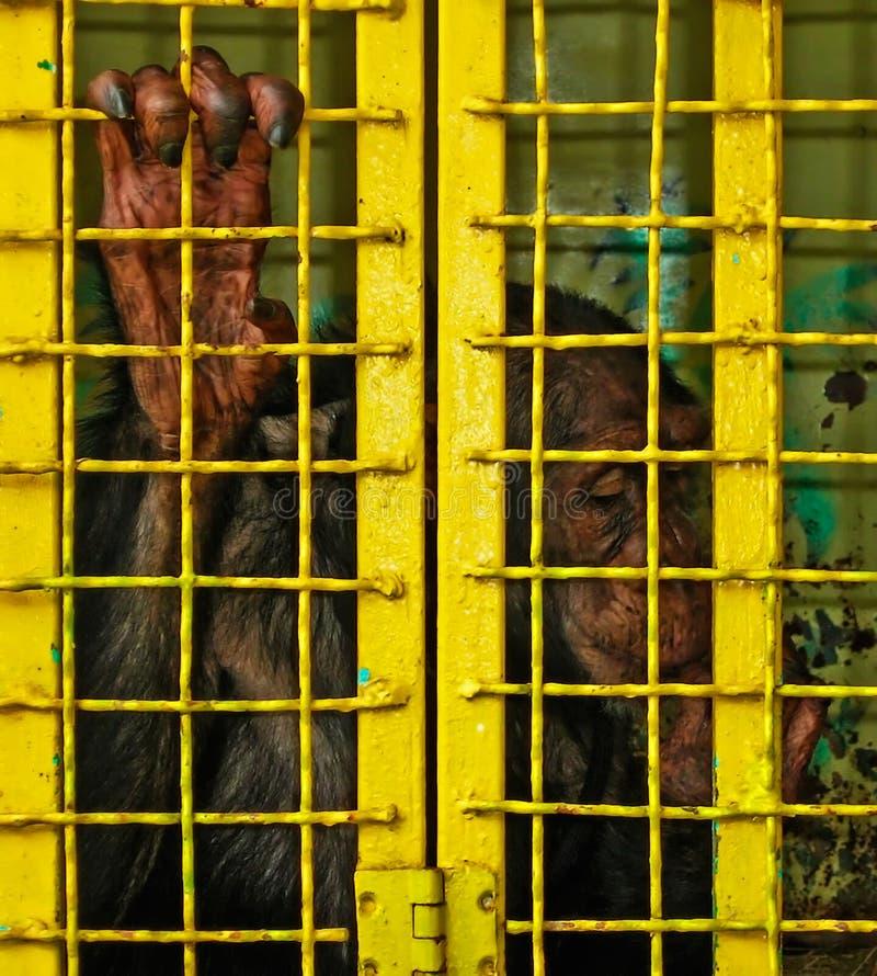 Un mono del circo cerrado en una jaula imágenes de archivo libres de regalías