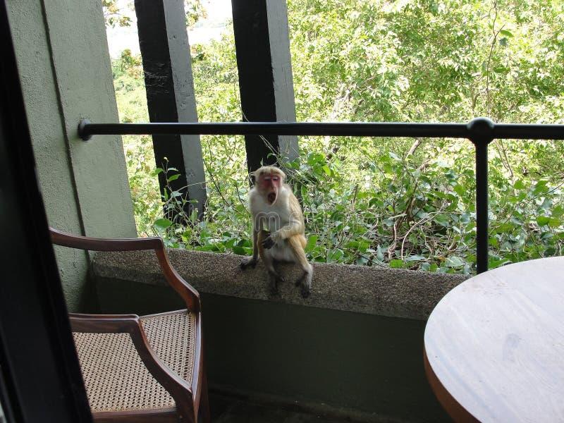 Un mono en el balcón imagen de archivo
