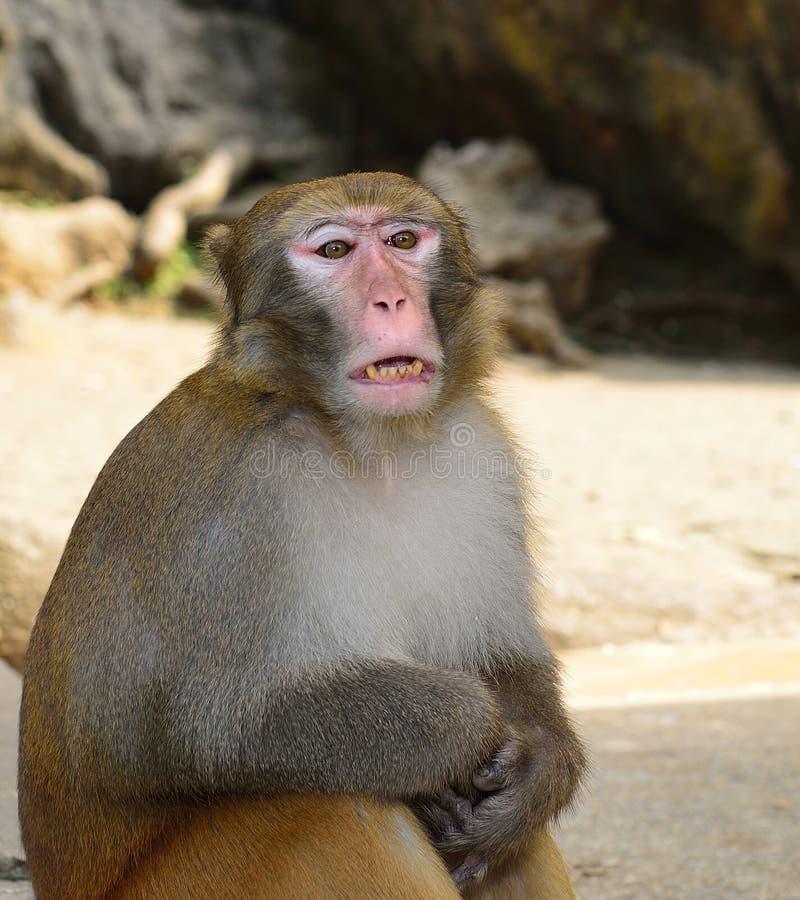 Un mono está bostezando imagen de archivo libre de regalías