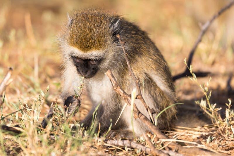 Un mono est? buscando algo en la hierba fotos de archivo libres de regalías