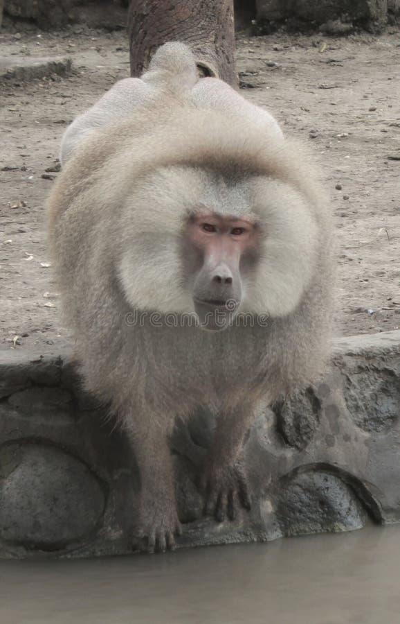 un mono grande de la tierra-vivienda del Viejo Mundo con un hocico doglike largo, dientes grandes, y callosidades desnudas en las fotografía de archivo