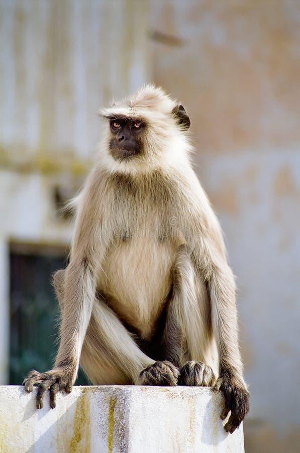 Mono gris del Langur, la India fotografía de archivo