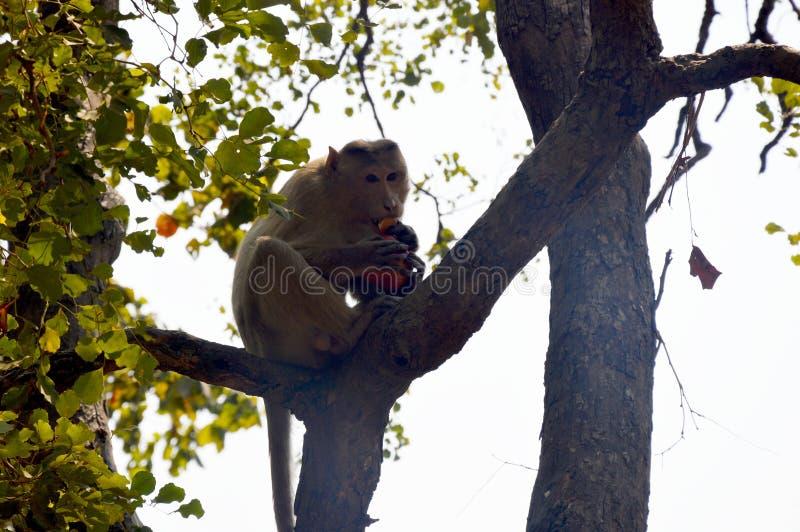 Un mono hambriento que come la comida foto de archivo