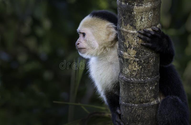 Un mono hecho frente blanco en un árbol imágenes de archivo libres de regalías