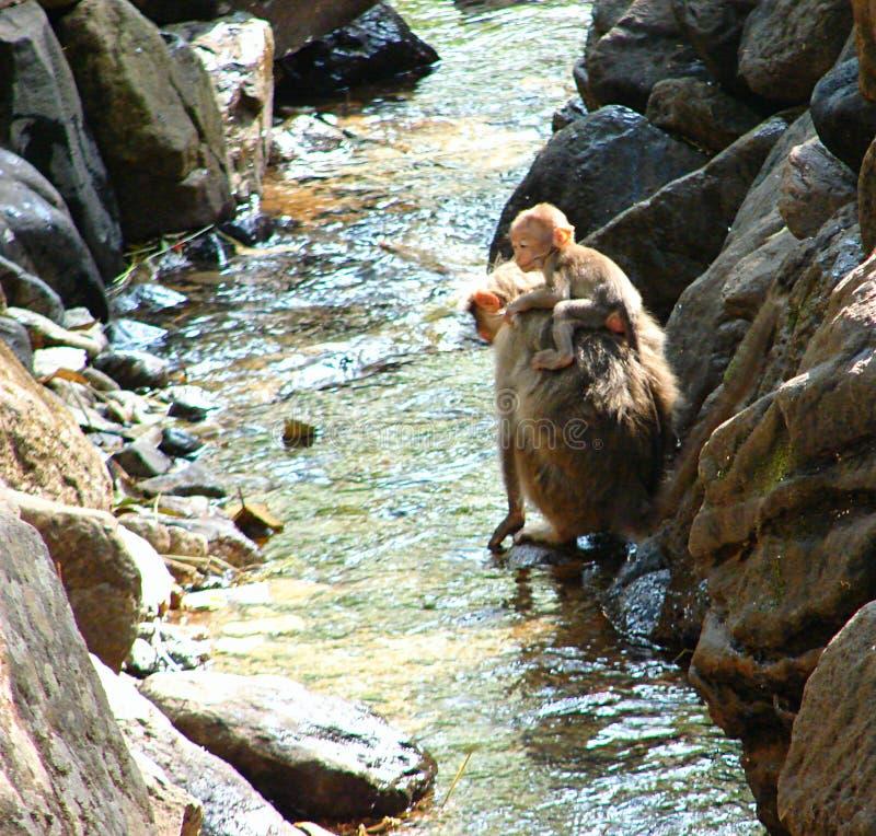 Un mono infantil - Macaque de capo - que se sienta encendido apoya de madre en agua imagen de archivo libre de regalías
