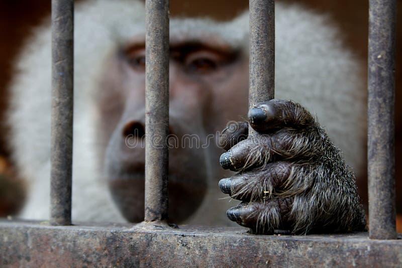 Un mono que se sienta dentro de una jaula y que lleva a cabo la rejilla imágenes de archivo libres de regalías