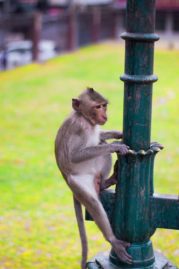 Un mono que se sienta en un polo verde foto de archivo libre de regalías