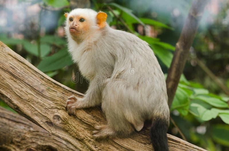 Un mono tití plateado imagenes de archivo