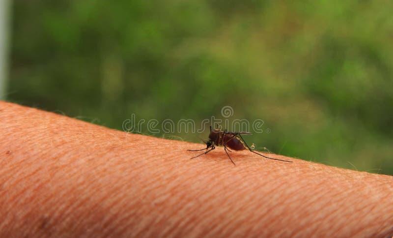 Un mosquito en sangre de la bebida de la mano de la mujer, Lituania fotos de archivo