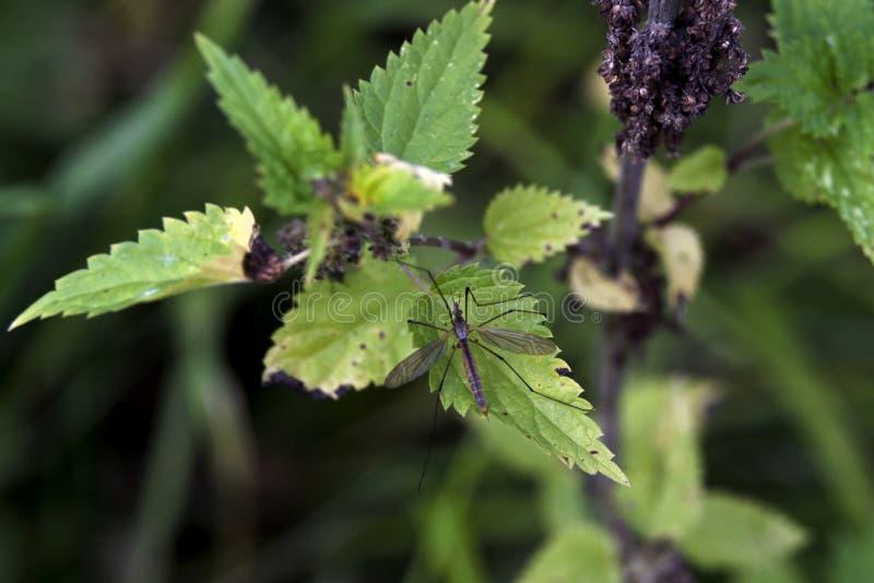 Un mosquito grande en las hojas de la ortiga fotos de archivo libres de regalías