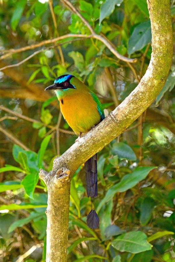 Un Motmot couronné par bleu dans la forêt photo libre de droits