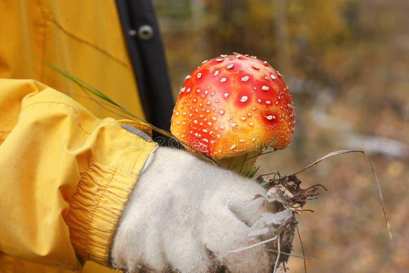 Un mouche-agaric rouge lumineux est dans la main masculine dans la perspective des amanites de forêt d'automne sont non comestibl photos stock