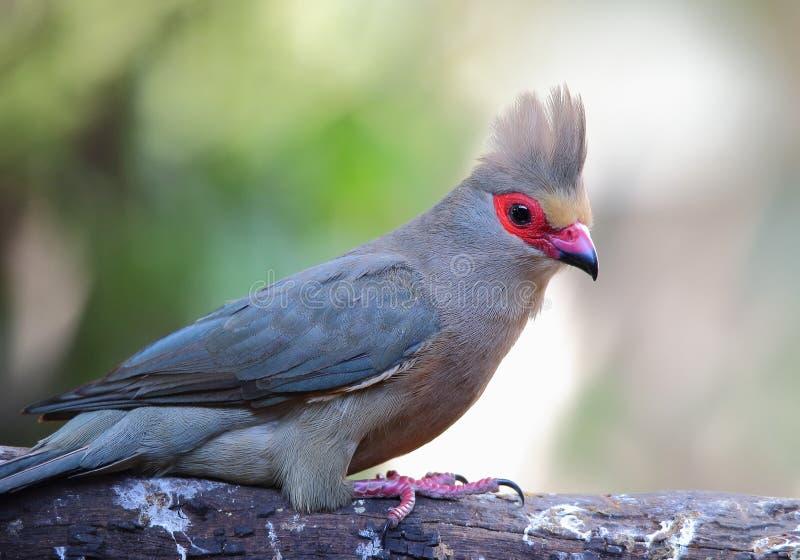 Un Mousebird paonazzo in viso fotografia stock libera da diritti