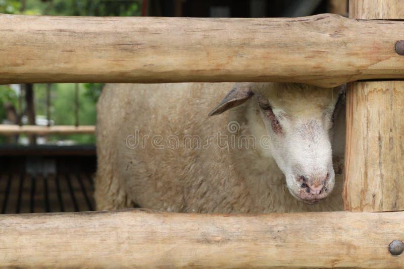 Un mouton image libre de droits