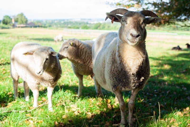 Un mouton avec deux agneaux photo libre de droits