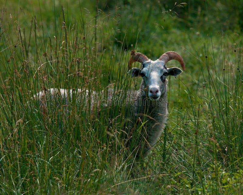 Un mouton suédois du Gotland images libres de droits