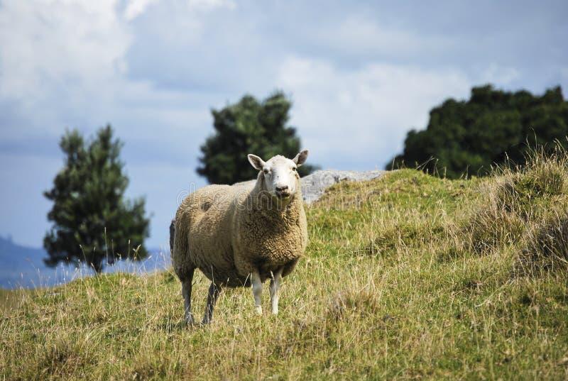 Un mouton sur une colline photographie stock