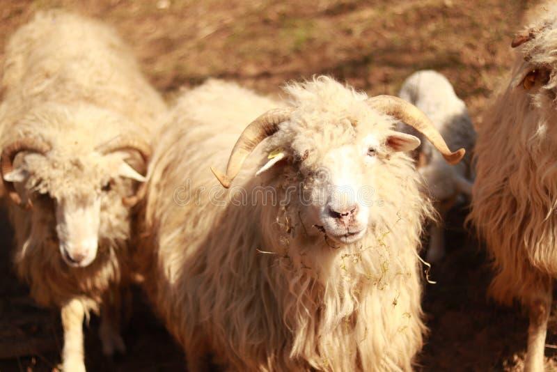 Un mouton triste près d'un mouton triste photos stock