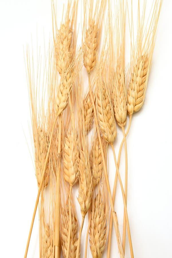 Un mucchio dei gambi dorati del grano su bianco fotografie stock