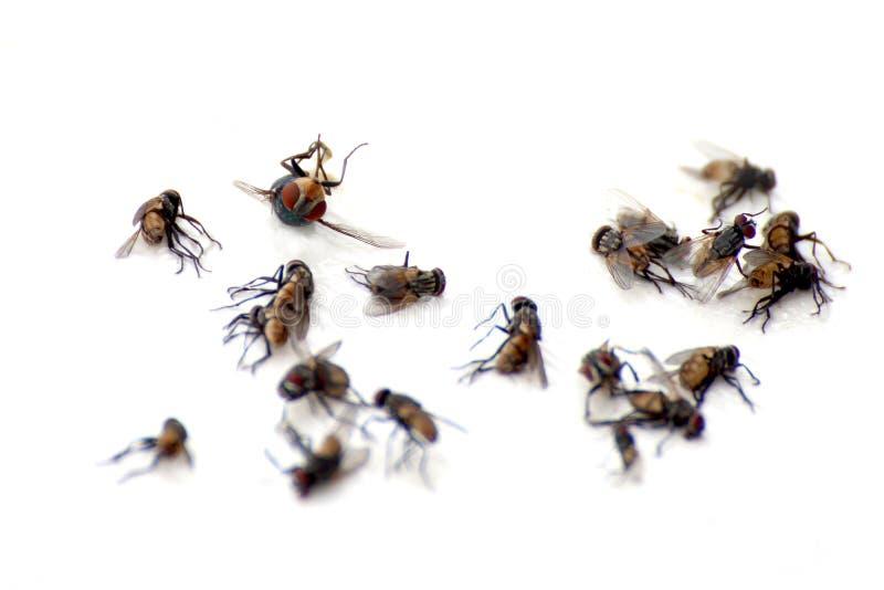 Un mucchio delle mosche, la macro che molti morti volano su fondo bianco, mosche è trasportatori del fuoco selettivo della tuberc fotografie stock libere da diritti