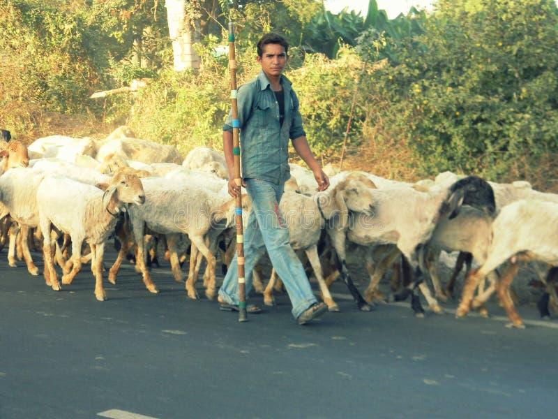Un muchacho con una multitud de ovejas imagen de archivo