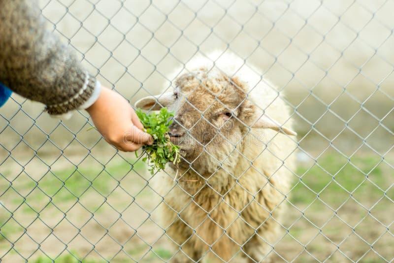 Un muchacho joven está alimentando una oveja a través de una cerca atada con alambre Él da a ovejas la comida verde con su mano imagen de archivo libre de regalías