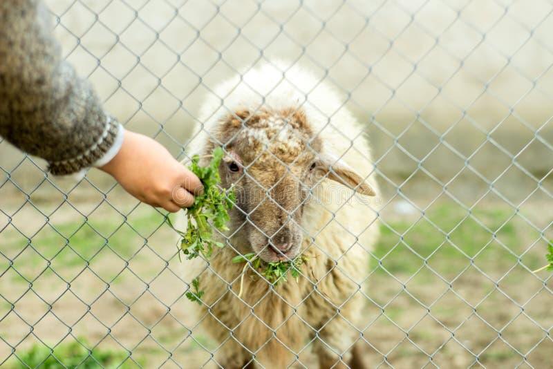 Un muchacho joven está alimentando una oveja a través de una cerca atada con alambre Él da a ovejas la comida verde con su mano imágenes de archivo libres de regalías