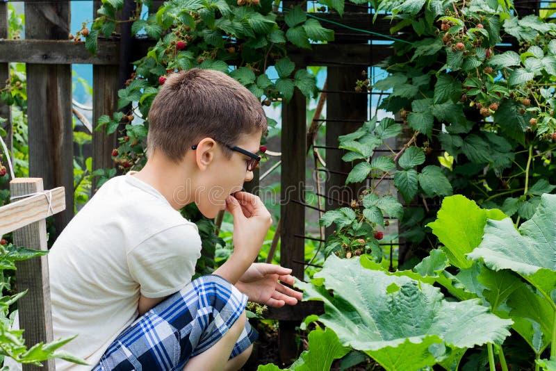 Un muchacho joven está cosechando las frambuesas de Bush en el campo foto de archivo
