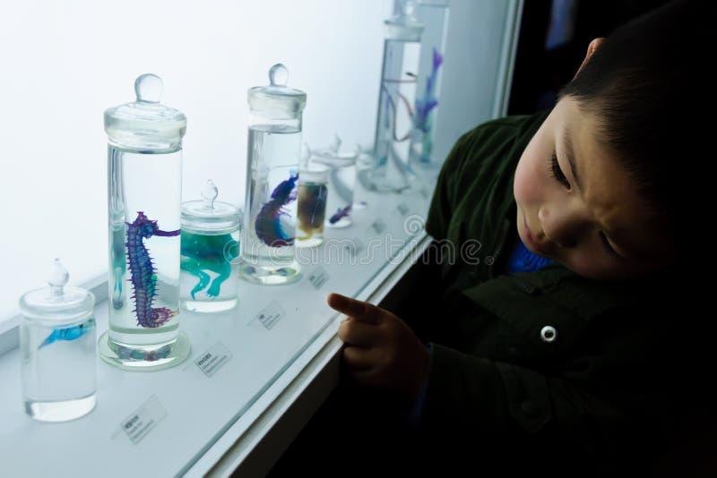 Un muchacho que mira el espécimen del caballo de mar foto de archivo libre de regalías