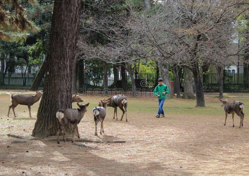 Un muchacho y ciervos en Nara Park Vocaciones en Japón imagen de archivo