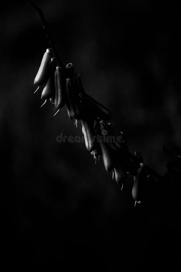 Un mucronata del Crotalaria del AL foto de archivo libre de regalías