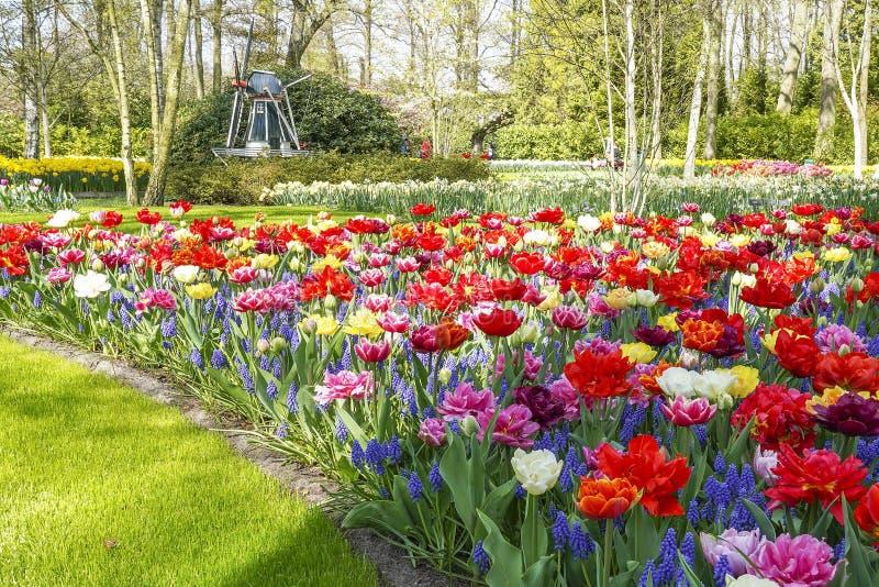 Un mulino miniatura fra erba verde, gli alberi di betulla ed i letti di fiori misti con i botryoides del Muscari ed i tulipani di immagini stock