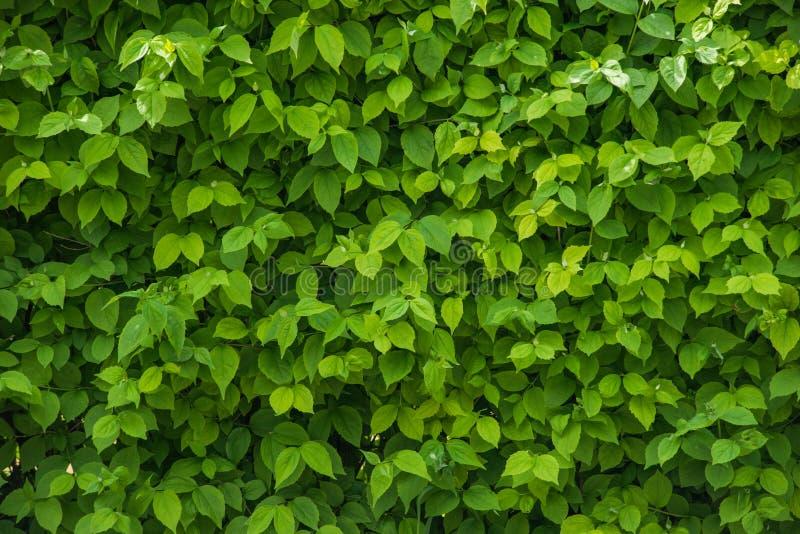 Un mur des feuilles vertes fraîches images stock