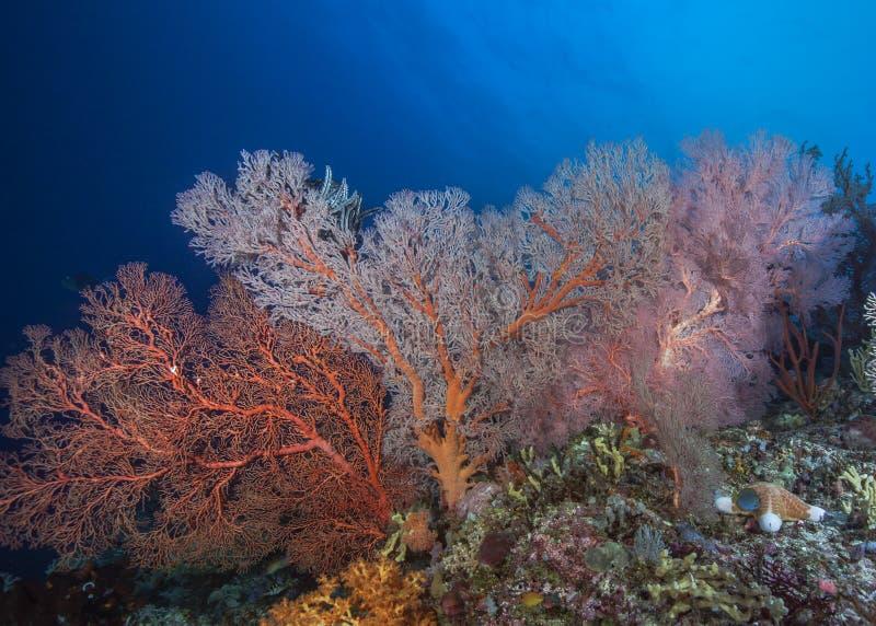 Un mur des seafans brillamment colorés de Gorgonian photographie stock